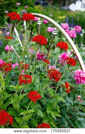 Flowering Maltese cross plants flowering in the summer garden beside a brass spindle bed head board used as decoration