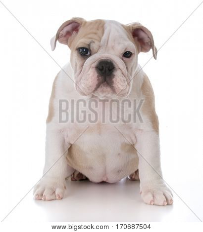 cute bulldog puppy sitting looking at view on white background