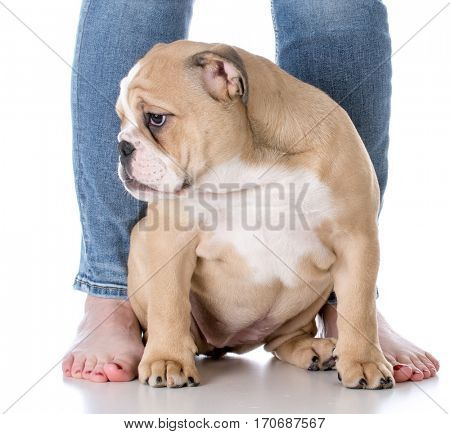 bulldog puppy sitting at feet of owner on white background