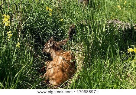 deer lying on the green grass, Siberian stag