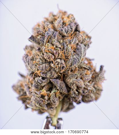 Detail of dried cannabis flower (Berry Noir strain) isolated over white background
