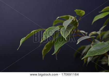 Ficus Benjamin on a black background. Indoor plant. The leaves on the branches. Background.