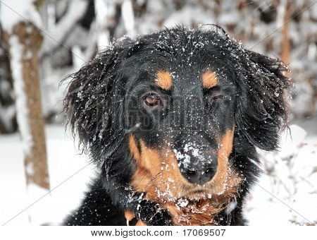 Blinking Howavart puppy covered with snow