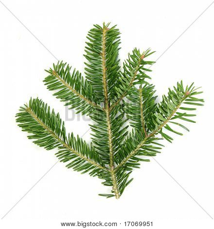 Branch of Abies firma. True real colors.