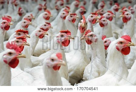 Modern chicken farm production of white meat