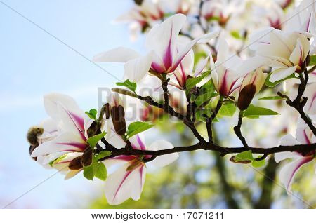MAgnolia flowers in full blossom