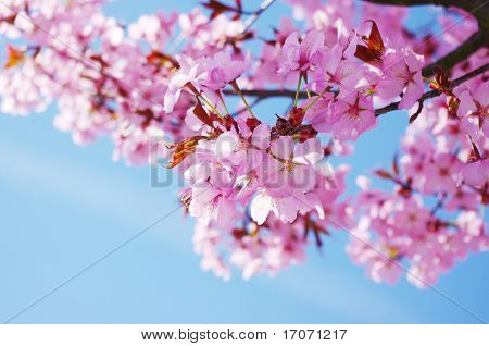 Pink cherry tree in full blossom