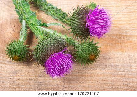 Fresh Thistle With Flowers. (silybum Marianum)