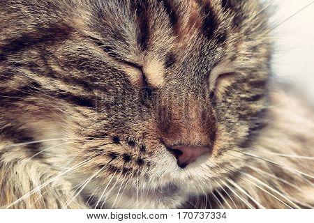 Face sleeping cat. Muzzle cat close up.