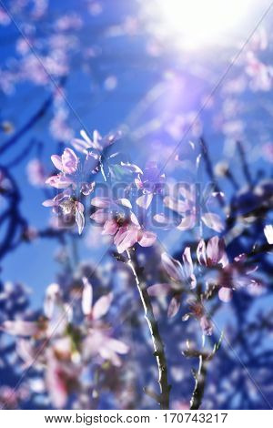 multiple exposure of almond trees in full bloom, with many nice pink and white flowers