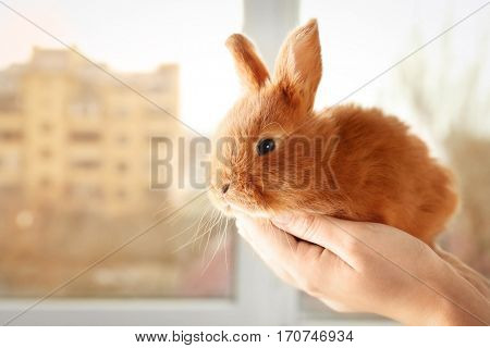 Female hands holding a cute foxy rabbit near the window