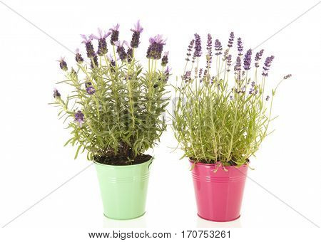 Lavender stoechas and Lavandula in flower pot isolated over white background
