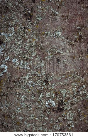 Texture of aspen tree bark. Natural background