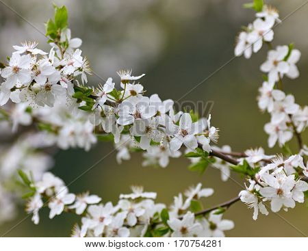 Hello spring! White spring blosson background