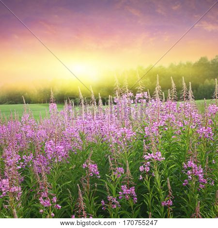 Field of blooming fireweed at sunset.