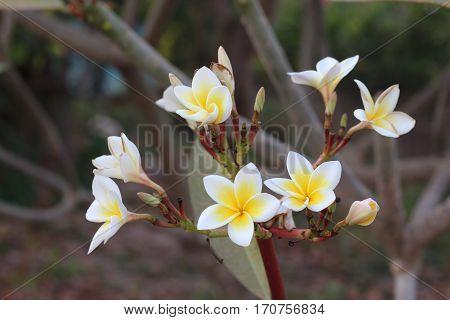 Many white-yellow frangipani flower in a garden.