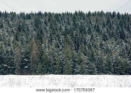 The trees in snowy landscape. Abstract composition of green and white colors