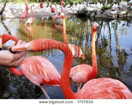 Hand Feeding Flamingos