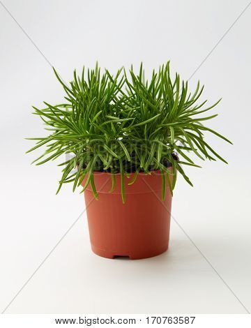 Green Succulent Senecio (Senecio Himalaya) in a flowerpot, ornamental plant.