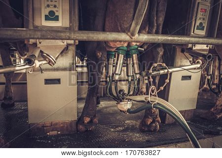 Cow milking facility with mechanized milking equipment
