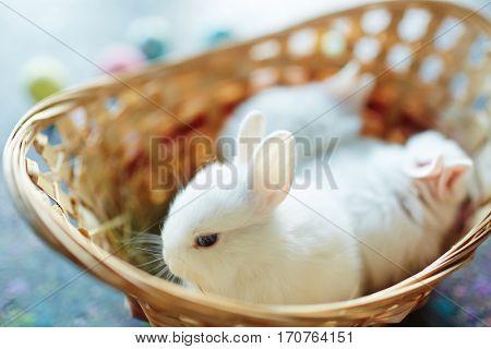 Fluffy dwarf baby bunny in basket