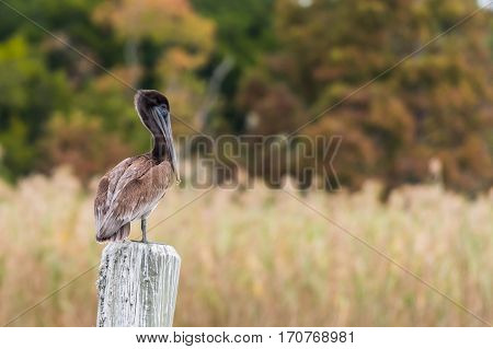 Brown Pelican Standing on Pylon with Brown Grass