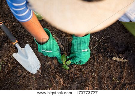 High angle view of female gardener planting seedling in dirt at garden