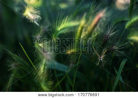 Cereal Crop Ears With Vibrant Green Color Grass Close Up Photo Taken On Summer Sunny Day. Fluffy Plant Ears Under Bright Sun Light With Weed Leafs Around.