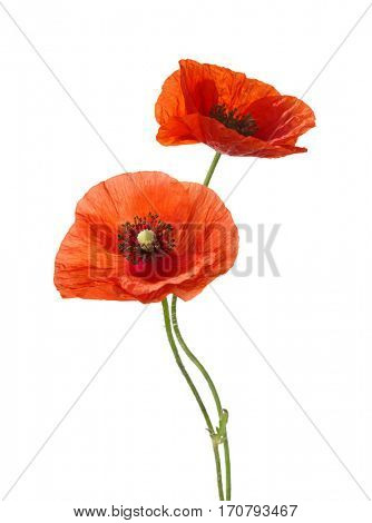 Two red poppies isolated on white background.