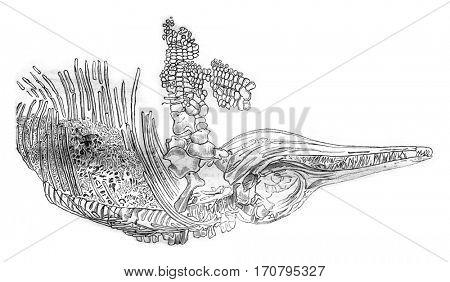 Skeleton of an ichthyosaur, vintage engraved illustration. Magasin Pittoresque 1844.