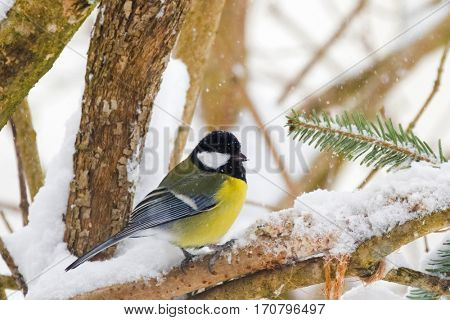 Cute little Great tit bird in yellow black color sitting on tree branch all alone while snowing during winter in Austria, Europe (Parus major)