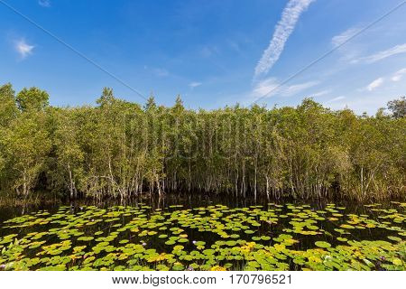 Cajuput, white Samet tree growing at Swamp flooded forest in water with lotus flower leaves against blue sky in Rayong, Thailand (Melaleuca cajuputi)