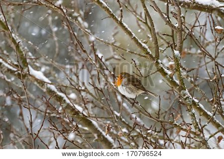 European robin redbreast bird sitting on tree branch all alone while snowing during winter in Austria, Europe (Erithacus rubecula)