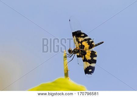Dragonfly (Common picture wing) with yellow black transparency wings perching on tree branch against blue sky, Thailand (Rhyothemis variegata)