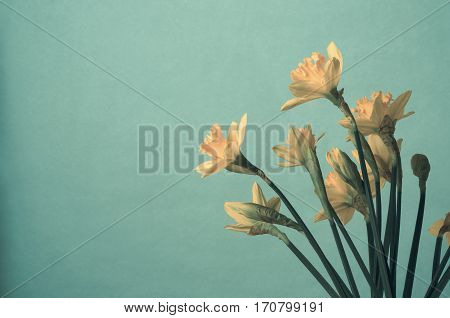 Bunch Of Yellow Spring Daffodils On Turquoise Background