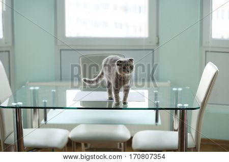 Cute cat standing on glass table at home