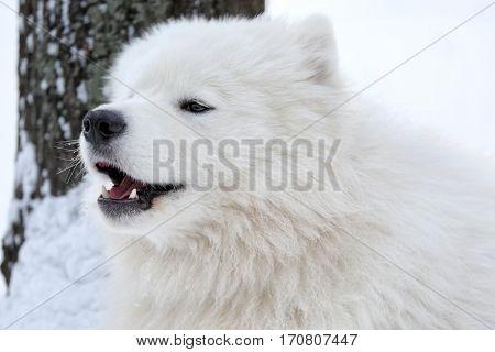 Cute samoyed dog outdoors on winter day, closeup