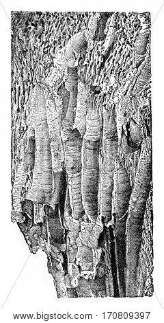 Wood works by marine borers Teredo navalis Grand, vintage engraved illustration.