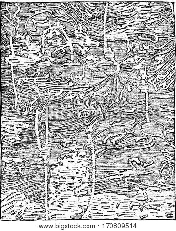 Hylesinus piniperda Traces of spruce, The bark has been removed, vintage engraved illustration.