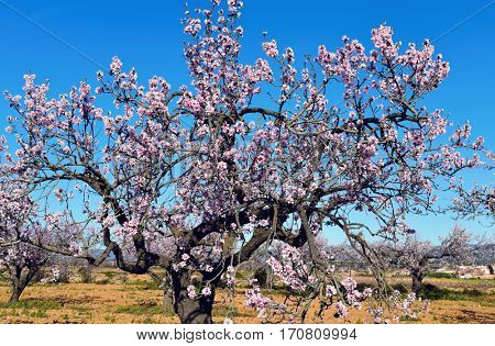closeup of an almond tree in full bloom, with many nice pink flowers, in an almond tree grove