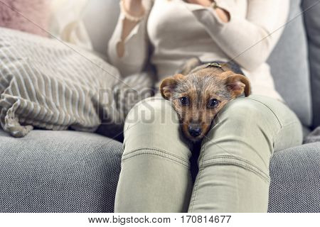 Contented Little Dog Sleeping On Its Owners Lap