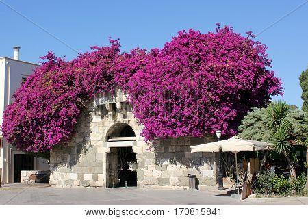 Blooming bugenveliya in the Old Town, the  Kos Island. Greece. June 2016.