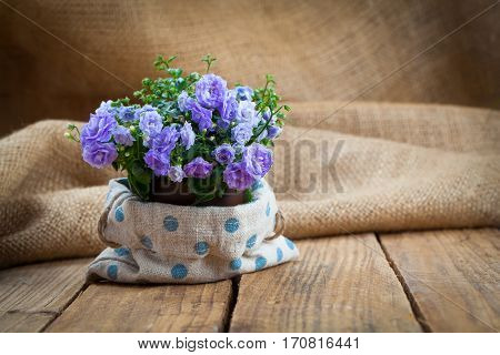blue Campanula terry plant on wooden background