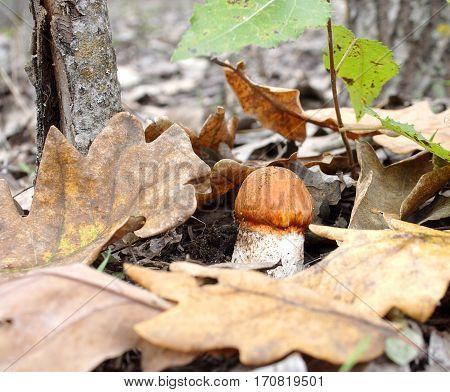 The aspen mushroom has grown among the fallen-down foliage