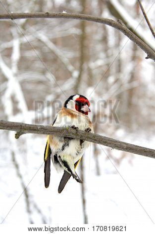 The goldfinch in the winter wood sits on a branch