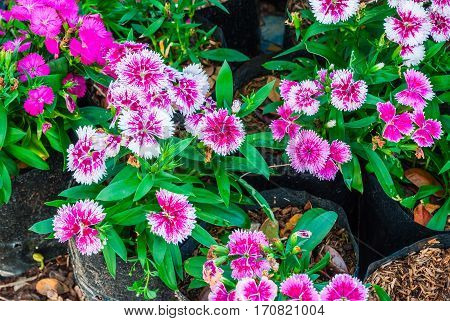 Closeup Dianthus Chinensis/ Chaina Pink/ Indian Pink Background