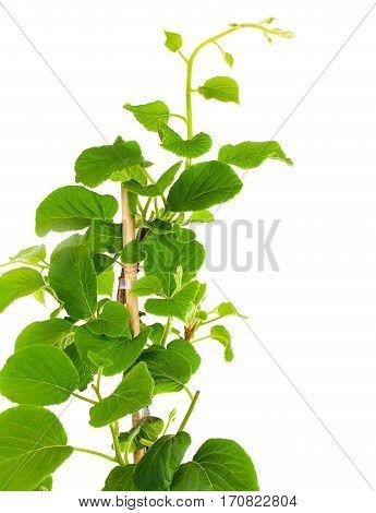 Actinidia deliciosa tropical plant on white background