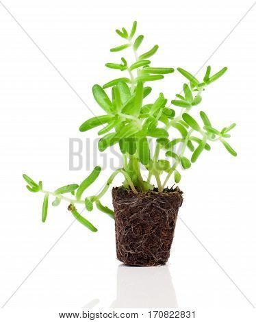 Sedum plant isolated on a white background