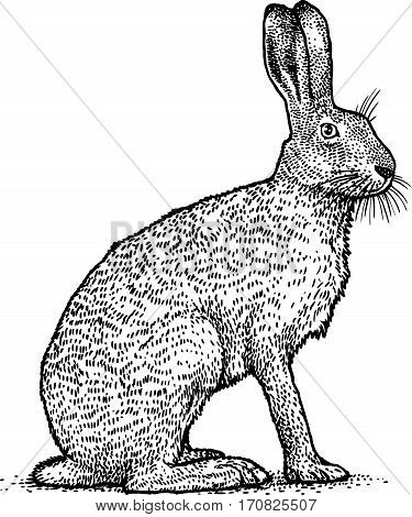 Rabbit illustration, brown hare drawing, engraving, line art
