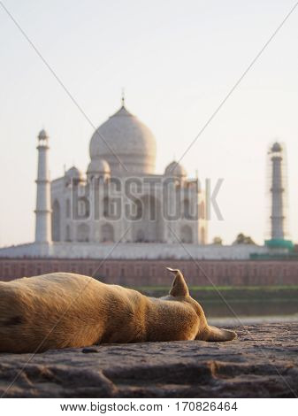 A stray dog with crooked ear looking at the Taj Mahal in Agra India.